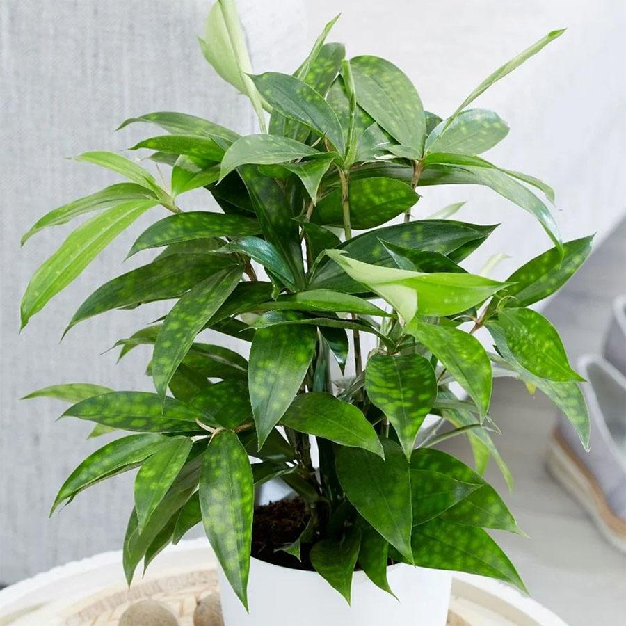 Chọn cây hợp mệnh, hợp tuổi - Cây Trúc Nhật